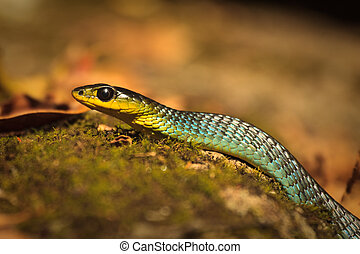 Colorful Headshot of green tree snake, Dendrelaphis...