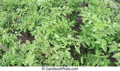 Sprouts tomato - In small garden of growing tomatoes