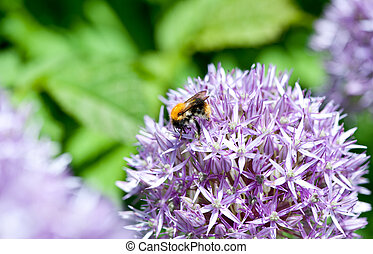 Giant Onion Allium Giganteum blooming in a garden on the...