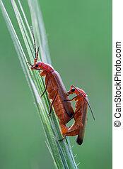 Rhagonycha fulva - macro photography of coupling of common...