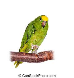 Yellow-crowned, amazonka, odizolowany, Na, biały,