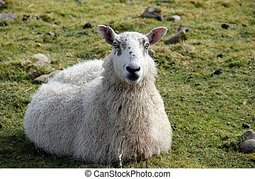 Sheep - Resting sheep with ear tag, Isle of Islay, Inner...