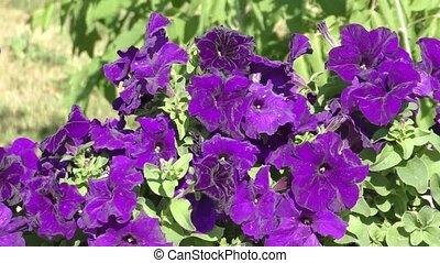 Flowers petunia - Flowers Petunia violet swinging in the...