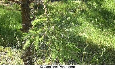 Sprig fir tree