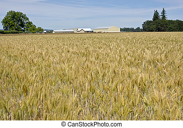 Wheat field in the willamette valley. - Wheat field in the...