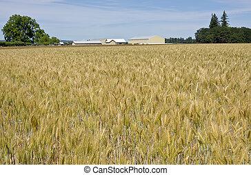 Wheat field in the willamette valley. - Wheat field in the...