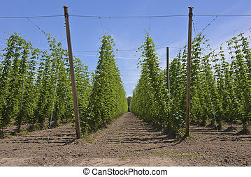 Agriculture and farming of hops in Oregon. - Agriculture and...