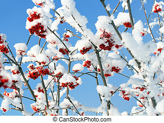 ash-berry branches under snow