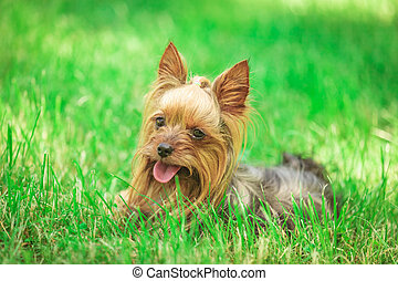 seated yorkshire terrier puppy dog