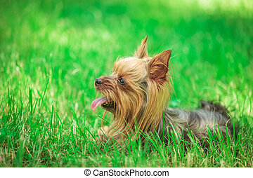side view of a cute yorkshire terrier puppy dog panting