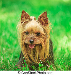 face of a cute yorkshire terrier puppy dog in the grass