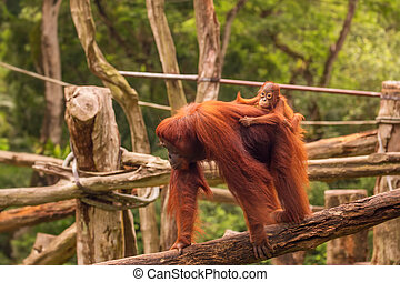 Orangutan in the Singapore Zoo at the tree
