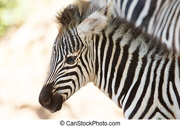 zebra profile view in their natural environment