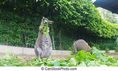 grazzing Red-necked Wallaby (Macrop - grazzing family of...