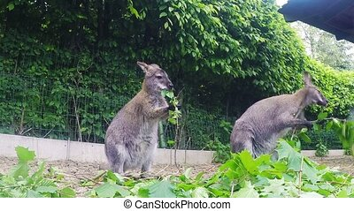 grazzing Red-necked Wallaby Macrop - grazzing family of cute...