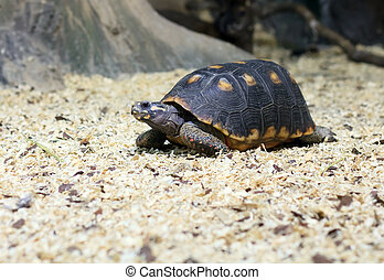 spur-thighed turtle eating grass - small alone spur thighed...