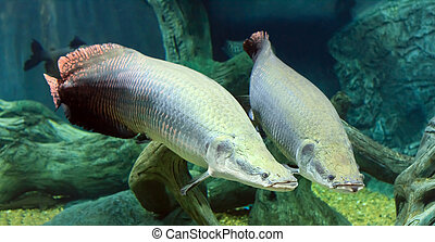 large Arapaima in the Amazon under water - large two...