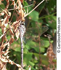 Blue Dragonfly - Blue dragonfly clinging to brown leaves