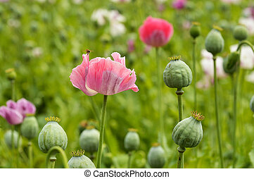 Poppy flower - Agricultural, flowers and green cocoons in a...