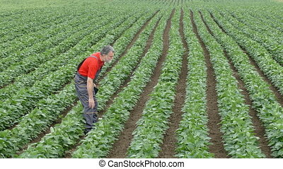 Agriculture farmer in soybean field - Farmer inspect quality...
