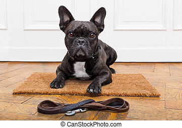 dog waiting for walk - french bulldog dog waiting and...