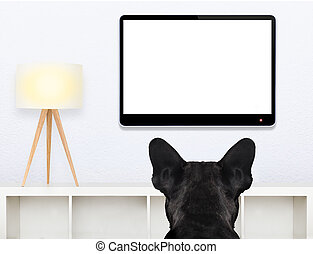 dog watching tv - french bulldog dog in front of a blank and...