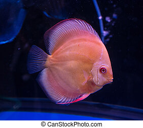 red discus fish in aquarium
