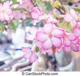 Adenium, obesum, (Desert, Rose;, impala,