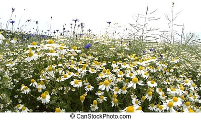 camomile in the early springtime