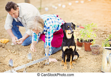 Senior couple planting seedlings - Senior couple planting...