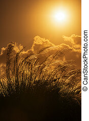 Tall pampas in Summer - Tall pampas against bright summer's...