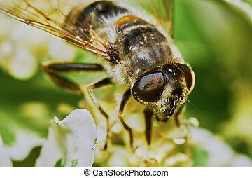 Bee on flowering shrubs in the garden...