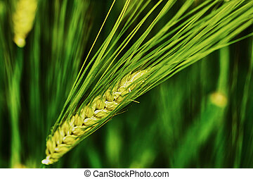 Green barley spike closeup