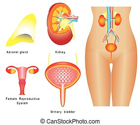 Urinary system. Female urinary system, reproductive system...