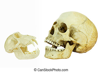 human, e, macaco, cranio, oposta, de, cada, outro,