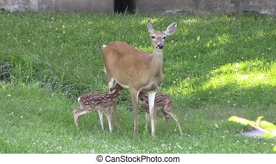 Whitetail Fawns - These twin whitetail fawns are hungry....