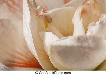 Detail of a variegated white Amaryllis flower of the genus...