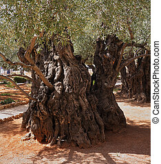 One olive trees in Gethsemane - One of the eight very...