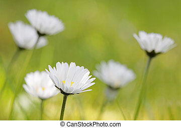 Group of daisys with green de-focused background
