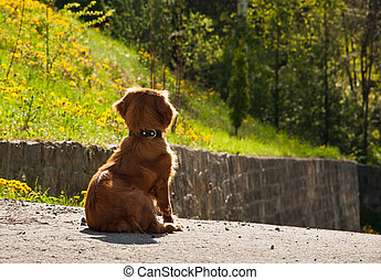 dog waiting for the owner - rear view of spaniel dog sitting...