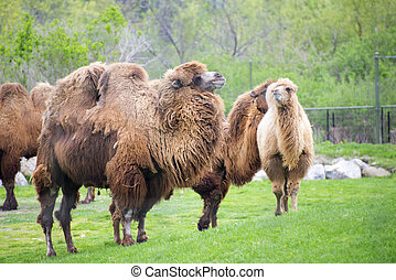 Bactrian camels on a zoo - Group of adult bactrian camels on...