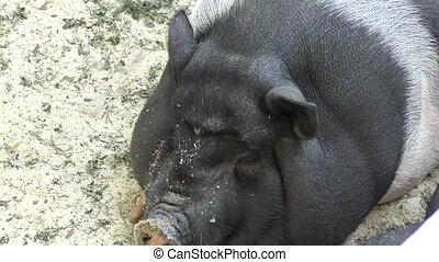 Pig on vacation on a hot summer day