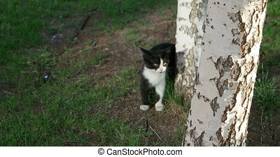 Small kitty hiding near birch tree and run away