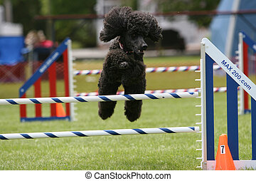 Standard Poodle doing Dog Agility - Standard poodle goes...