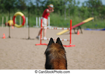 Dog Agility - Belgium Shepherd waits for its handler to give...