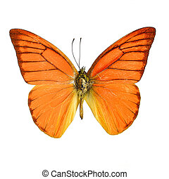 Orange Albatross Butterfly Appias nero galba, isolated on...