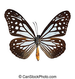 Tawny Mime butterfly - Blue and brown butterfly,Tawny Mime...