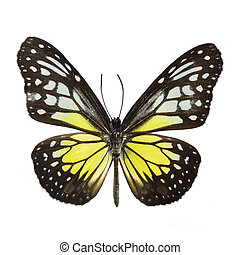 Yellow Glassy Tiger butterfly Parantica aspasia, isolated on...