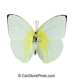 Lemon Emigrant butterfly - Yellow and white butterfly, Lemon...