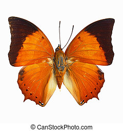 Common Tawny Rajah butterfly - Orange butterfly, Common...